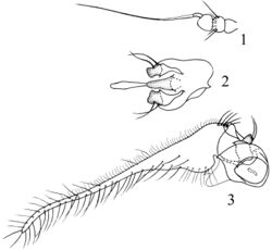 Figures 1–3. Sinosciapus liuae sp. n. (male) 1 antenna, lateral view 2 genitalia excluding cerci, ventral view 3 genitalia, lateral view.