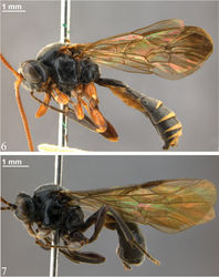 Figures 6–7. Habitus 6 Zambion rogeri,holotype male 7 Zambion eileenae,holotype female.