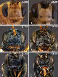 Figures 10–15. Head, anterior view 10 Zambion hirtum,paratype male 11 Zambion monodon, paratype male 12 Zambion rogeri,paratype male 13 Zambion eileenae,holotype female 14 Zambion wahli,paratype male 15 Zambion broadi, holotype male.