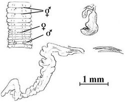 Figure 5. Notoscolex tasmani (Lee, 1959). Holotype (AMNZ 5039); sketch of anterior body (after Lee 1959[2]: fig. 326), a desiccated spermatheca from vial (cf. Lee 1959[2]: fig. 328) and flat, tubuloracemose prostate with penial setae in situ in 18lhs.