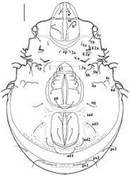 Figure 2. Damaeus (Paradamaeus) yushuensis sp. n. – Ventral view (100μm)