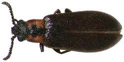 Figure 1. Dorsal habitus photograph of Lacconotus (Lacconotus) punctatus; female, New Hampshire. TL = 5.1 mm. Photo credit: Darren Pollock, Eastern New Mexico University.