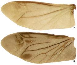 Figures 7–8. Wing of species of Lacconotus 7 Lacconotus (Lacconotus) punctatus, wing length = 4.5 mm 8 Lacconotus (Alcconotus) pinicola, wing length = 5.1 mm. Photo credit: Darren Pollock, Eastern New Mexico University.