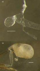 Figures 13–14. Internal female genitalia of Lacconotus 13 Lacconotus (Lacconotus) punctatus 14 Lacconotus (Alcconotus) pinicola. Scale bar = 0.25 mm. Photo credit: Darren Pollock, Eastern New Mexico University.