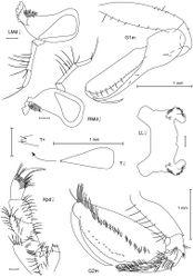 Figure 2. Leucothoe akaoni sp. n., holotype female, 9.6 mm, RUMF-ZC-1732; paratype male, 8.3 mm, RUMF-ZC-1733.