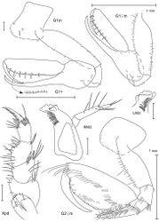 Figure 14. Leucothoe nurunuru sp. n., holotype male, 5.8 mm, RUMF-ZC-1771; paratype female, 6.5 mm, RUMF-ZC-1772.