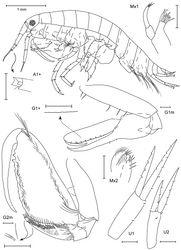 Figure 17. Leucothoe togatta sp. n., holotype male, 4.2 mm, RUMF-ZC-1778.