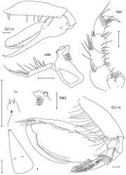 Figure 18. Leucothoe togatta sp. n., holotype male, 4.2 mm, RUMF-ZC-1778; paratype female, 5.4 mm, RUMF-ZC-1779.
