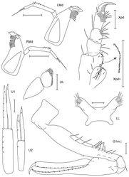 Figure 22. Leucothoe zanpa sp. n., holotype male, 3.2 mm, RUMF-ZC-1791; paratype female, 3.8 mm, RUMF-ZC-1792.