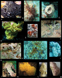 Figure 25. Color plate of sponge hosts. A Iotrochotidae of Dendy, 1922 (probably Iotrochota of Ridley 1884[2]), RUMF-ZP-7 B Mycale of Gray, 1867, RUMF-ZP-8 C ?Jaspis of Gray, 1867 D orange encrusting sponge, Clathria of Schmidt, 1862, RUMF-ZP-5 E ?Clathria (Thalysias) reinwardti Vosmaer, 1880, RUMF-ZP-4 F Tedania of Gray, 1867 G Mycale (Zygomycale) parishii (Bowerbank, 1875), RUMF-ZP-9 H ?Mycale of Gray, 1867, RUMF-ZP-10 I Niphatidae of Van Soest, 1980 (probably Niphates of Duchassaing and Michelotti 1864[3]), RUMF-ZP-6 J grey/purple hard sponge, Clathria (Thalysias) of Duchassaing and Michelotti 1864[3] K orange flame sponge, Ciocalypta of Bowerbank 1862[4] L orange stubby sponge, Mycale sp. M purple brown soft sponge, ?Pericharax of Poléjaeff 1883[5].