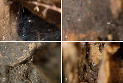 Figure 2. Live images of Tayshaneta species. A Tayshaneta myopica (Gertsch, 1974), female, Geode Cave, Travis County, Texas B Tayshaneta fawcetti sp. n., male and female in web, Fawcett's Cave, Val Verde County, Texas C Tayshaneta myopica (Gertsch, 1974), male, Tooth Cave, Travis County, Texas D Egg-sac of Tayshaneta anopica, Corn Cobb's Cave, Williamson County, Texas.