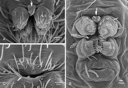 Figure 11. Spinneret morphology for male Tayshaneta species. A Tayshaneta myopica (Gertsch, 1974) male, Pedernales River, arrow to colulus B Tayshaneta devia (Gertsch, 1974), MacDonald Cave, spinning field C Tayshaneta devia (Gertsch, 1974), MacDonald Cave, epiandrous spigots.