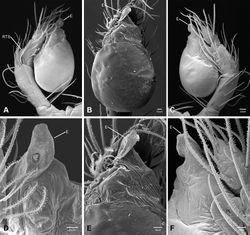 Figure 38. Tayshaneta devia (Gertsch, 1974), MacDonald Cave, Travis County, Texas (CASC), male right palp. A Retrolateral B Ventral C Prolateral D Retrolateral, embolus E Ventroapical F Proapical.