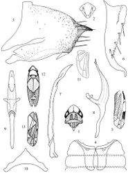 Figures 1–13. Zyginella species 1–11 Zyginella menghaiensis sp. n. 1 Head and thorax, dorsal view 2 Face 3 Forewing 4 Abdominal apodemes 5 Pygofer lobe, lateral view 6 Subgenital plate 7 Style 8 Aedeagus, lateral view 9 Aedeagus, ventral view 10 Connective 11 Hindwing 12–13 Zyginella minuta (after Yang, 1965) 12 Adult, dorsal view 13 Forewing.