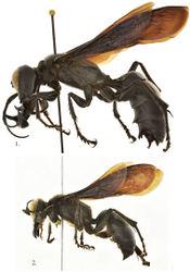 Figures 1, 2. Megalara garuda side view of body 1 male 2 female.