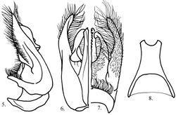 Figures 5–8. Megalara garuda male genital capsule 5 lateral view 6 dorsal view 7 ventral view 8 male sternum VIII.