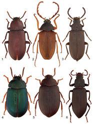 Figures 1–6. Representative species of the family Tenebrionidae in New Brunswick: 1 Neatus tenebrioides (Palisot de Beauvois, 1805) 2 Pseudocistela brevis (Say, 1824) 3 Mycetochara foveata (LeConte, 1866) 4 Neomida bicornis (Fabricius, 1777) 5 Platydema americanum Laporte and Brullé, 1831 6 Xylopinus saperdioides (Olivier, 1795).