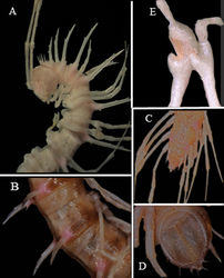 Figure 3. Desmoxytes spinissima sp. n., ♂ holotype. A anterior part of body, lateral view B midbody segments, lateral view C posterior part of body, dorsal view D telson, ventral view E femora 6 and 7, lateral view.Photographed not to scale.