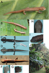 Figure 3. Photographs of the live and preserved holotype. A Holotype of Bolitoglossa chinanteca B Holotype of Bolitoglossa chinanteca with a sympatric individual of Bolitoglossa rufescens C Dorsum and D venter of preserved holotype E Ventral view of holotype before preservation, showing color in life F Right hand, G right foot H gular region and I side view of head of preserved holotype. J Photograph of the type locality of Bolitoglossa chinanteca, including banana plants where the type series was collected. All photographs by S. M. Rovito.