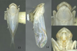 Figures 13–16. Sweta bambusana sp. n. 13 Dorsal habitus, holotype from Huishui 14 Lateral habitus, holotype from Huishui 15 Head and thorax, dorsal view 16 Head, anteroventral view.