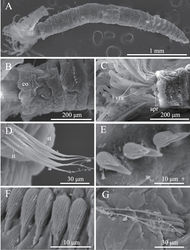 Figure 3 . Amphicorina ezoensis sp. n., paratype, ZIHU 4254, SEM images. A entire worm, lateral view B collar and first thoracic segment, lateral view C basal part of radioles, ventral view D thoracic notochaetae on the 4th chaetiger E thoracic uncini F abdominal uncini G abdominal chaetae. Abbreviations: apr anterior peristomial ring co collar it inferior thoracic notochaetae st superior thoracic notochaetae vra ventral radiolar appendage.