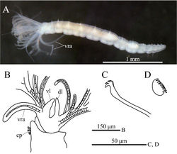 Figure 5. Amphicorina mobilis (Rouse, 1990). A ZIHU 3938, entire worm, lateral view B ZIHU 3939, lateral view of inner surface of branchial crown C ZIHU 3940, thoracic uncinus D ZIHU 3941, abdominal uncinus. Abbreviations: cp ciliated patch dl dorsal lip vl ventral lip vra ventral radiolar appendage.
