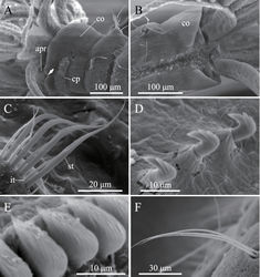 Figure 6. Amphicorina mobilis (Rouse, 1990), ZIHU 3942, SEM images. A collar segment, ventrolateral view (arrow indicates ventral notch of collar) B collar segment, dorsal view C thoracic notochaetae on the 5th chaetiger D thoracic uncini E abdominal uncini F abdominal chaetae. Abbreviations: apr anterior peristomial ring co collar cp ciliated patch it inferior thoracic notochaeta st superior thoracic notochaetae.