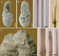 Figure 4. Ilyphagus hirsutus Monro, 1937. Holotype (NHML-1937.9.2.455). A Dorsal view B Ventral view C Anterior end, dorsal view D Chaetiger , basal, medial and distal notochaetal regions E Chaetiger , neurochaetae F Same, basal region and two hirsute tips. Bars.- A, B 5 mm C 0.2 mm D 45 µm E 0.4 mm F 65 µm.