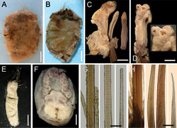 Figure 5. Ilyphagus wyvillei (McIntosh, 1885). A Holotype (NHML-85.12.1.261), dorsal view B Same, ventral view, body completely dissected and inner organs removed C Same, left palp and two branchial filaments D Same, palp and branchia, with parasite and parasite scar on palp (insert: close-up of palp tip) E Non-type specimen (SIORAS-unnumb.), ventral view F Same, head, frontal view, palps and branchiae removed G Holotype (NHML-85.12.1.261), chaetiger 11, basal, medial and distal notochaetal regions H Same, chaetiger 10, basal, medial and distal neurochaetal regions. Bars.- A, B: 13 mm C 1 mm D 1.7 mm E 10 mm F 2.3 mm G 70 µm H 140 µm.
