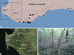Figure 21. Zephyrarchaea janineae sp. n., distribution and habitat: A, topographic map showing the known distribution of Archaeidae in south-western Western Australia, with collection localities for Zephyrarchaea janineae highlighted in yellow; B, satellite image showing detail of inset (A); C, wet eucalypt forest at the type locality – Karri Valley, Western Australia (August 2006). Image (C) by M. Rix.