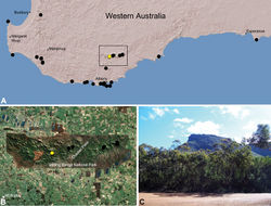 Figure 25. Zephyrarchaea barrettae sp. n., distribution and habitat: A, topographic map showing the known distribution of Archaeidae in south-western Western Australia, with collection localities for Zephyrarchaea barrettae highlighted in yellow; B, satellite image showing detail of inset (A); C, view from Stirling Range Drive showing the type locality – Talyuberlup Peak, Stirling Range National Park (August 2008). Image (C) by M. Rix.