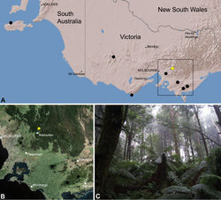 Figure 26. Zephyrarchaea vichickmani sp. n., distribution and habitat: A, topographic map showing the known distribution of Archaeidae in Victoria and South Australia, with collection localities for Zephyrarchaea vichickmani highlighted in yellow; B, satellite image showing detail of inset (A); C, cool-temperate Nothofagus rainforest at the type locality – Acheron Gap, Yarra Ranges National Park, Victoria (March 2010). Image (C) by M. Rix.