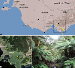 Figure 27. Zephyrarchaea marae sp. n., distribution and habitat: A, topographic map showing the known distribution of Archaeidae in Victoria and South Australia, with collection localities for Zephyrarchaea marae highlighted in yellow; B, satellite image showing detail of inset (A); C, cool-temperate Nothofagus rainforest at the type locality – Tarra Valley, Tarra-Bulga National Park, Victoria (April 2010). Image (C) by M. Rix.