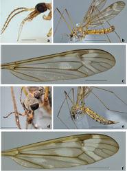 Figure 2. Tipula (Pterelachisus) recondita Pilipenko & Salmela, sp. n. a Holotype male, head, lateral view (Finland) b paratype male, habitus, lateral view (Russia) c paratype male, wing (Russia) d paratype female, head, dorso-lateral view (Russia) e paratype female, habitus, lateral view (Russia) f paratype female, wing (Russia). Scale bars: a, d 1 mm; c, f 2.5 mm; b, e 5 mm.