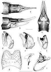 Figure 4. Tipula (Pterelachisus) recondita Pilipenko & Salmela sp. n., paratype female (Russia) a–c Tipula (Pterelachisus) pauli Mannheims d and Tipula (Pterelachisus) imitator Alexander (e, f, g, h, i). a female terminal abdominal segments and cerci, dorsal view b female terminal abdominal segments, cerci and hypovalva, lateral view c female hypovalva and 8th sternite, dorsal view d–e male inner gonostylus, lateral view f outer and inner gonostylus, posterior view g 9th tergite, dorsal view h aedeagal guide, lateral view i sperm pump and aedeagus, ventro-lateral view. Scale bars: 0.5 mm.