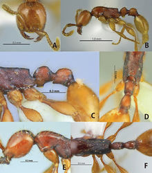 Figure 1. Aenictus doydeei (paratype). A Head in full-face view B habitus in profile C propodeal junction, petiole and postpetiole in profile D propodeal declivity with body in dorsal view E occipital corner of head in profile F dorsal view of body.