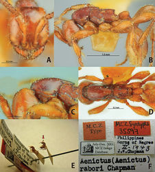 Figure 11. Aenictus rabori (lectotype). A Head in full-face view B habitus in profile C occipital corner of head D dorsal view of body E lectotype and paralectotype designated in the present paper (arrow indicating the lectotype) F labels of lectotype.