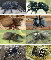 Figure 1. A–H Habitus of living Eresidae, photographs. A, B Adonea fimbriata A juvenile female (photo by Martin Forman) B adult male from Israel (photo by Martin Forman) C Dresserus kannemeyeri, adult female from Ndumo Game Reserve, South Africa (photo Stanislav Macík) D Dresserus sp., adult malefrom Namibia, between the towns Aus and Helmeringhausen (26°13.049'S, 16°36.063'E; photo by Martin Forman) E, F Gandanameno sp. E subadult female from Cape Town, South Africa (Stanislav Macík) F adult male from Anysberg Nature Reserve, Western Cape Province, South Africa (photo Martin Forman) G, H adult male Loureedia annulipes; G from Tel Krayot, Israel (photo by Martin Forman) H from Arad, Israel (photo by Martin Forman).
