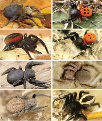 Figure 2. A–H Habitus of living Eresidae, photographs. A, B Eresus kollari A adult female from Hungary (photo by Tamás Szűts) B adult male from Kadaň, Czechia, (photo by Pavel Krásenský) C, E Eresus walckenaeri; C adult female from Greece (photo by Sergio Henriques) D adult male from Mihas, Greece (photo by Martin Forman) E juvenile female F Seothyra sp., juvenile female, from Brandberg, Namibia (photo by Martin Forman) G, H Paradonea variegata (photos by Martin Forman) G juvenile female from Betta, Namibia H adult male from Homeb, Namibia.