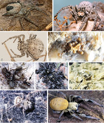 Figure 3. A–I Habitus of living Stegodyphus, photographs. A–C Stegodyphus lineatus A adult female from Hurghada, Egypt B adult female from Negev desert, Israel (photo by Rudolf Macek) C adult female from Shoam, Israel (photo by Amir Weinstein) D juvenile Stegodyphus tibialis feeding on their mother, Dali, China (photo by Yang Zi-Zhong) E Stegodyphus mimosarum, male (black arrow), females and a kleptoparasite Archeodictyna (white arrow) F Stegodyphus mimosarum, mass attack on a carabid G a female Stegodyphus dumicola feeding her offsprings H a pompilid wasp larva feeds on a female Stegodyphus dumicola (photos E–H by Teresa Meikle) I Stegodyphus sp. female from ShweSettaw Wildlife Reservation, Myanmar (photo by Dong Lin).