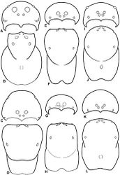 Figure 10. A–L Schematic illustrations of the carapace of assorted eresids. A–B Paradonea striatipes C–D Paradonea splendens E–H Paradonea variegata I–L Seothyra henscheli A–D, E–F, I–J male G–H, K–L female. A, C, E, G, I, K anterior view B, D, F, H, J, L dorsal view G illustrates example of median eyes overlapping on horizontal axis. Dashed lines at posterior of carapace indicate uncertainty. Not to scale.