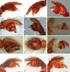 Figure 12. A–L Left male palpi of eresid species, photomicrographs. A–C Adonea fimbriata from Algeria-Morocco (MR012, MR) D–F Dorceus fastuosus from Mashabin Sand Dunes, Israel (MR006, HUJ) G–I Dresserus sp. from Manga Forest Reserve, Tanzania J–L Eresus walckenaeri from Leptokaryas, Greece (MR020, MR) A, D, G, J prolateral view B, E, K retrolateral view H ventral view C, F, I, L expanded palp. BH basal haematodocha MH median haematodocha.