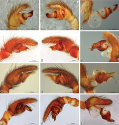 Figure 15. A–L Left male palpi of eresid species, photomicrographs. A–C Seothyra henscheli from Gobabeb Station, Namibia (SMN 40828, NMN) D, F Stegodyphus lineatus D–E from Negev, Israel (MR) F from Nengrahar, Afghanistan (MR010, MR) G–I Stegodyphus mimosarum from Forêt d'Analalava, Fianarantsoa, Madagascar (CASENT 9015950, CAS) J–L Stegodyphus sarasinorum from 7.5 km E PwintPhyu, Magway Division, Myanmar (CASENT 9019370, CAS) A, D, G, J prolateral view B, E, H, K retrolateral view C, F, I, L expanded palp. BH basal haematodocha MH median haematodocha.
