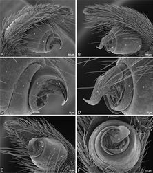 Figure 20. A–F Adonea fimbriata from Algeria-Morocco (MR012, MR), scanning electron micrographs of right male palp, images reversed to appear as left palp. A prolateral view B retrolateral view C detail of embolic division, prolateral view D detail of embolic division, retrolateral view E ventral view F apical view. C conductor E embolus ST subtegulum T tegulum.