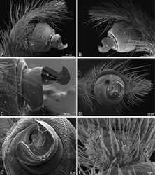 Figure 27. A–F Dorceus fastuosus from Mashabin Sand Dunes, Israel (MR006, HUJ), scanning electron micrographs of left male palp. A prolateral view B retrolateral view C detail of embolic division, prolateral view D ventral view E detail of embolic division, ventral view F palpal tibia, dorsal view. C conductor E embolus ST subtegulum T tegulum.