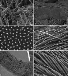 Figure 31. A–F Dorceus fastuosus, female from Mashabim sand dunes, Israel (MR002, MR), scanning electron micrographs. A detail of spigots on left ALS B cribellum C detail cribellar spigots D trichobothrium, left tibia IV E calamistrum, left metatarsus IV F detail, calamistrum seta, left metatarsus IV. MAP major ampullate gland spigot PI piriform gland spigot.