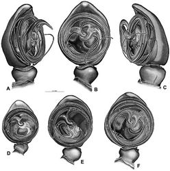 Figure 48. A–F Gandanameno sp., illustrations of left male palp. A–C from Naauwpoort, North West Province, South Africa (SAM 1600, SAM) D from Van Riebeeck Park, Western Cape, South Africa (CASENT 9023763, CAS) E from Graaff-Reinet, Eastern Cape, South Africa (SAM 12571, SAM) F from Hanover, South Africa (SAM 9465, SAM) A obliquely retrolateral view B, D–F ventral view C obliquely prolateral view. All images at the same scale. C conductor E embolus ST subtegulum T tegulum.