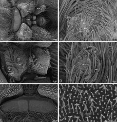 Figure 57. A–F Gandanameno sp. from Iringa, Tanzania (ZMUC 19970530, ZMUC), scanning electron micrographs of female spinnerets. A overview B right ALS C right PMS D left PLS E cribellum F cribellar spigots. AC aciniform gland spigot ALS anterior lateral spinneret CR cribellum CY cylindrical gland spigot MAP major ampullate gland spigot mAP minor ampullate gland spigot MS modified spigot n nubbin PI piriform gland spigot PLS posterior lateral spinneret PMS posterior median spinneret t tartipore.
