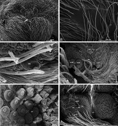 Figure 58. A–F Gandanameno sp., scanning electron micrographs. A–E female from Iringa, Tanzania (ZMUC 19970530, ZMUC) F female from Hanover, South Africa (SAM-ENW-B006896/9958) A, B prosoma C–F details of spinneret spigots A anterior view, arrow indicates clypeal hood B left cheliceral boss C detail of modified spigots on right female PLS D detail of spigots on anterior part of right female PMS E detail of cylindrical gland spigots on posterior part of left female PMS F right PMS. AC aciniform gland spigot CY cylindrical gland spigot MAP major ampullate gland spigot mAP minor ampullate gland spigot MS modified spigot n nubbin PI piriform gland spigot t tartipore.