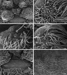 Figure 60. A–F Gandanameno sp. from Hanover, South Africa (SAM 9465, SAM), scanning electron micrographs of male spinnerets. A overview B left ALS C right PMS D left PLS E vestigial cribellum F detail of vestigial cribellum. AC aciniform gland spigot ALS anterior lateral spinneret MAP major ampullate gland spigot mAP minor ampullate gland spigot MS modified spigot PI piriform gland spigot PLS posterior lateral spinneret PMS posterior median spinneret n nubbin t tartipore.